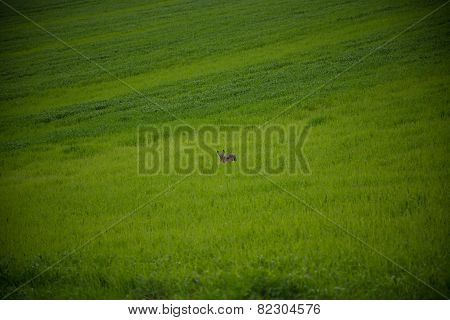 Rabbit Jumping On A Green Field