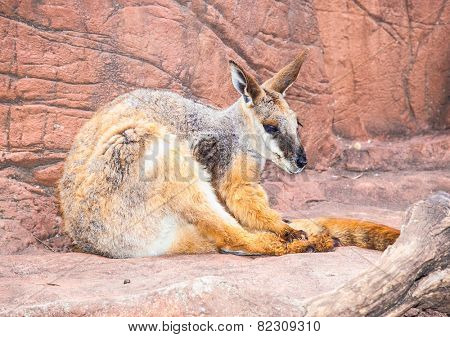 Red Kangaroo (Macropus rufus, black-footed rock-wallaby) on rock in Sydney, Australia.