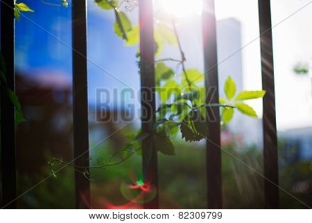Sunbeams And Grapes Leaves