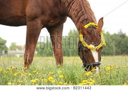 Chestnut Horse Eating Dandelions At The Pasture
