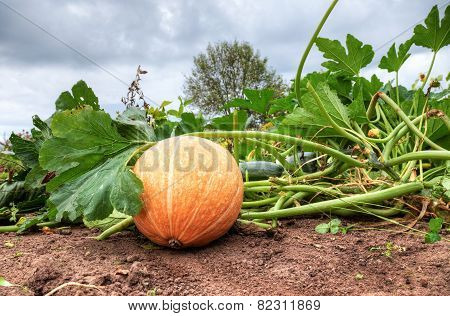Orange Pumpkin Growing On The Vegetable Patch