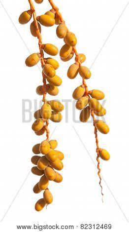 Phoenix Palm Fruit Isolated On White Background