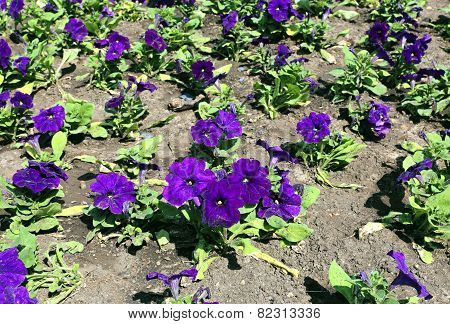 Many Big Flowers Of Violet Petunias