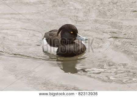 Tufted Duck In The Pond