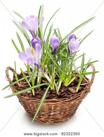 Crocus flowers in the splint basket. On a white background.