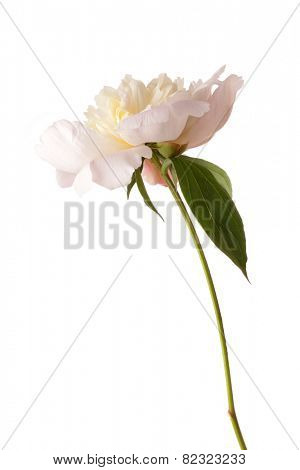 Pale pink peony isolated on white background.