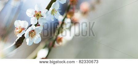 White Plum blossom in early spring. shallow depth of field.
