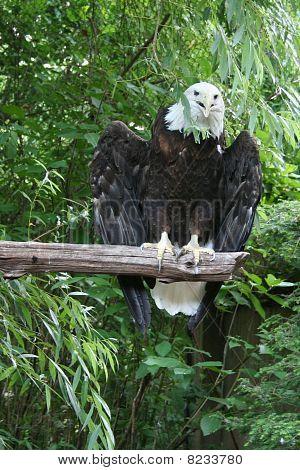 bird of prey bald eagle