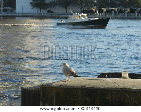 Gull common name glaucous winged gull scientific name larus glaucesens