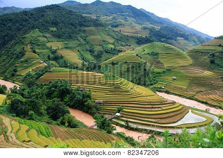 Gold's season rice at Mu Cang Chai province, Northwest, Vietnam