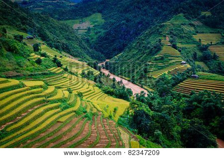 Gold terraced rice fields , in rice season , at Mu Cang Chai, Northwest,Vietnam
