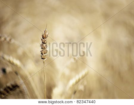 Cereal In Field