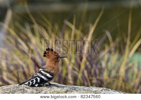 Hoopoe On The Rock
