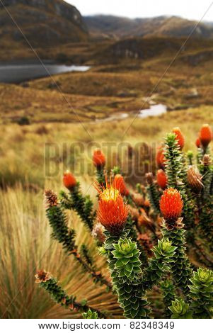 chuquiragua andean flower in Cajas National Park Azuay Ecuador South America