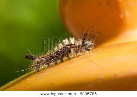 Lagarta de mariposa a Rusty Tussock