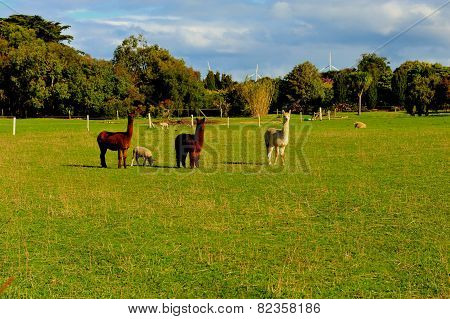 three Alpacas stare at
