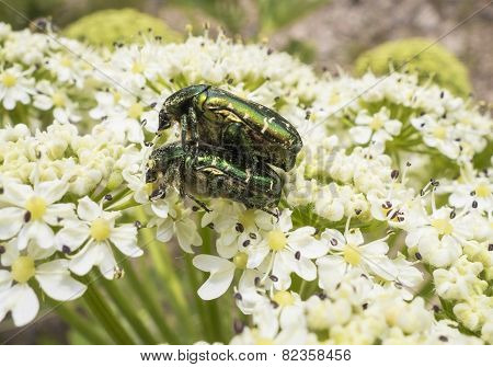 A Beetle Sits On A Flower