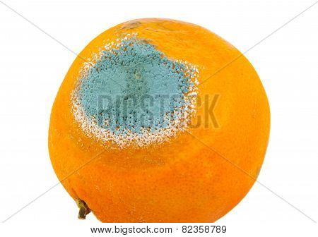 Single mouldy and rotten orange isolated on a white background