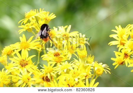 Bumblebee On Senecio