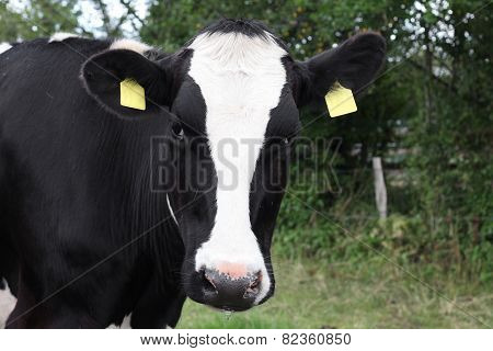 Closeup Of A Black And White Cow.