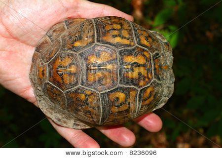 Box Turtle (Terrapene carolina)