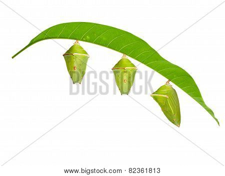 Isolated Chrysalis With Leaf Of Mango Baron Butterfly On White