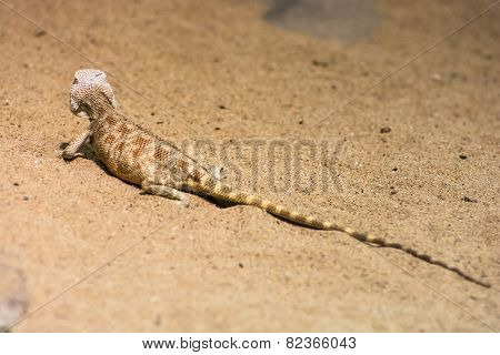 Steppe Agama (trapelus Sanguinolentus) In The Sand