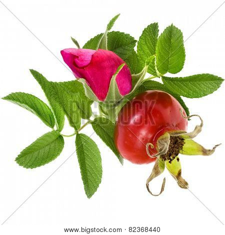 rose hip with berry isolated on a white background