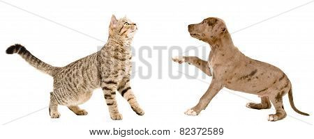 Cat Scottish Straight and puppy pit bull