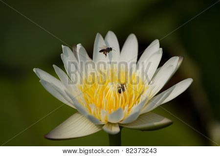 Bee And Water Lilly
