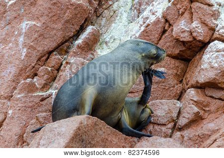 Islas Ballestas, Peru - sea lion