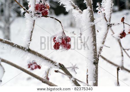 Rosehips Winter