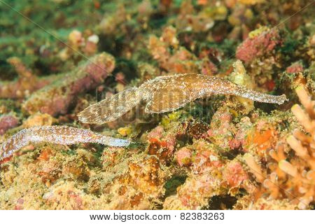 Pair Of Robust Ghost Pipefish Camouflaged Into The Reef