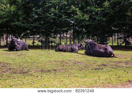 Three Black Bull Bask In The Sun
