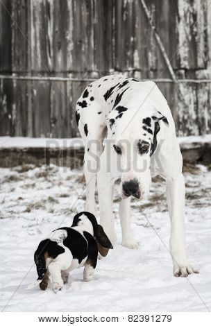 Friends - Great Dane and Basset Hound