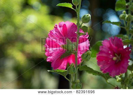 Blooming hollyhock Alcea rosea