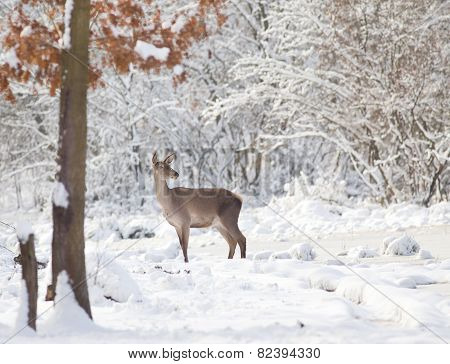 Hind On Snow