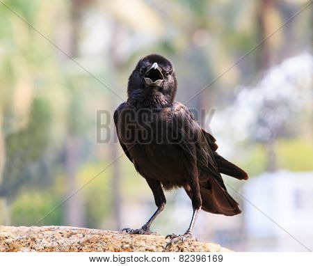 Close Up Face Of Black Bird Crow Perching On Rock With Blurry Background