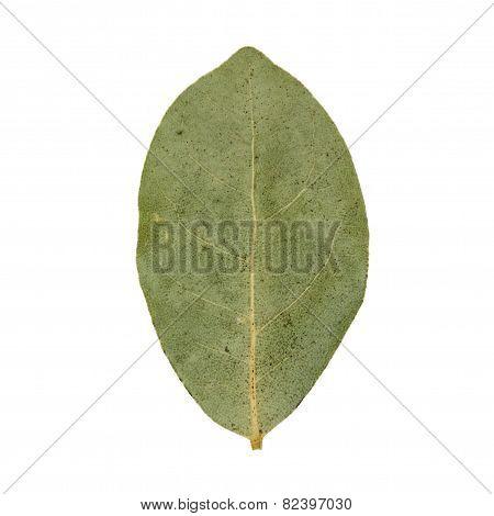 Single green dried bay leaf