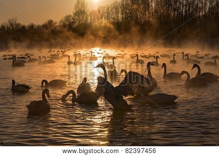 Swans Lake Mist Winter Sunset