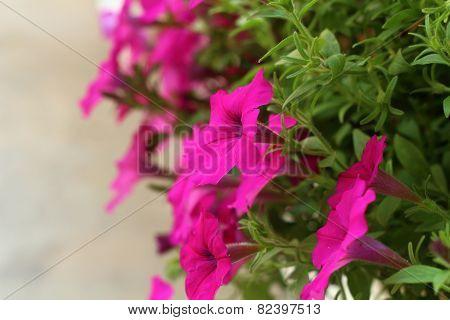 The Petunias Flowers In Garden