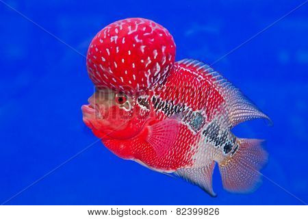 Aquarium Fish, Flower Horn Fish On Blue Screen