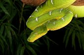 picture of tree snake  - Emerald Tree Boa  - JPG