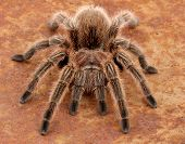 picture of exoskeleton  - Chilean Rose Hair Tarantula  - JPG