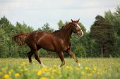 picture of chestnut horse  - Chestnut horse trotting at the flower field on sunny day - JPG