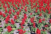 stock photo of salvia  - Red salvia flowers in the garden on a sunny day - JPG