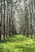 picture of row trees  - Closeup rows of greenery tropical rubber tree - JPG