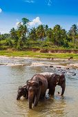 image of bathing  - Herd of elephants bathing in the river Sri Lanka - JPG