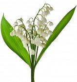pic of lily  - Lily of the Valley  - JPG