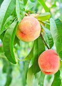 foto of peach  - juice peach on tree in the garden - JPG